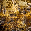 Macro shot of bees — Stock Photo #56184529