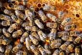 Macro shot of bees — Stock fotografie