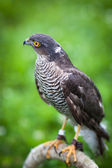 Eurasian sparrowhawk — Stock Photo