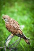 Common Kestrel — Stock Photo