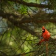 Northern cardinal (Cardinalis cardinals) — Stock Photo #56397879