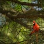Northern cardinal (Cardinalis cardinals) — Stock Photo #56397879