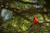 Northern cardinal (Cardinalis cardinals) — Stockfoto