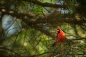 Northern cardinal (Cardinalis cardinals) — Stock Photo