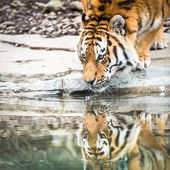 Indian Tiger Drinking Water — Stock Photo
