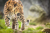 Amur Leopard in nature — Stock Photo