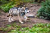 Gray or Eurasian wolf — Stock Photo