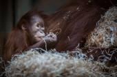 Orangutan baby, hanging on thick rope — Stock Photo