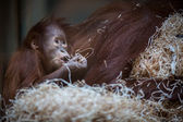 Orangutan baby, hanging on thick rope — Stock Photo