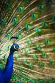 Splendid peacock with feathers out (Pavo cristatus) — Stock Photo