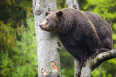 Brown bear view — Stock Photo