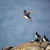 Puffins (Fratercula arctica), Isle of May — Stock Photo
