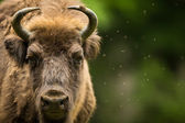 European bison (Bison bonasus) — Stock Photo