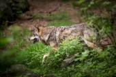 Gray or Eurasian wolf (Canis lupus) — Stock Photo