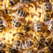 Bees swarming on a honeycomb — Stock Photo #67950257