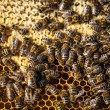 Bees swarming on a honeycomb — Stock Photo #67950305