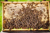 Bees swarming on a honeycomb — Stock Photo