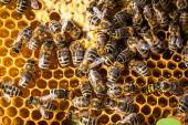 Bees swarming on a honeycomb — Stock fotografie