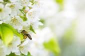 Honey bee in flight at cherry tree — Stock Photo