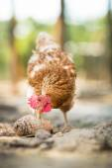 Hen in a farmyard (Gallus gallus domesticus)  — Stock Photo