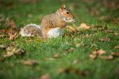 Eastern Grey Squirrel (Sciurus carolinensis) — Stock Photo