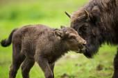 European bison (Bison bonasus) — Stock Photo
