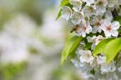 Honey bee approaching blossoming cherry tree — Stock Photo