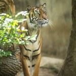 Постер, плакат: Siberian tiger Amur tiger Panthera ti