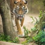 Постер, плакат: Siberian tiger Amur tiger
