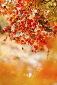 Red leaves in autumn at Japan — Stockfoto