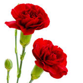 Two red carnation flowers on a white background — Stock Photo