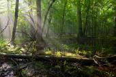 Summer midday with light entering rich deciduous stand — Stock Photo