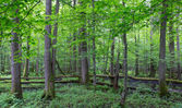 Old trees of Bialowieza Forest — Stock Photo