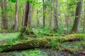 Natural stand of Bialowieza Forest with standing water — Stock Photo