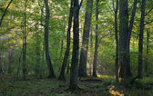 Sunrise light entering old deciduous stand — Stock Photo