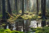 Natural coniferous stand of Bialowieza Forest Landscape Reserve — Stock Photo
