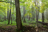 Old natural deciduous stand in morning — Stock Photo