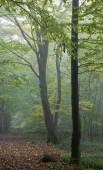 Old hornbeam tree over path in mist — Stock Photo