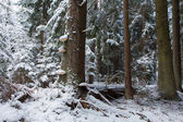 Winter landscape of old coniferous stand of Bialowieza Fores — Stock Photo