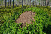 Ant hill in the Karelian wood, Russia — Stock Photo