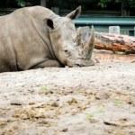 White rhino — Stock Photo #62629461