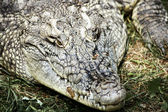 Krokodyl nilowy — Zdjęcie stockowe