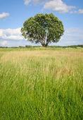 Single tree on a meadow — Stock Photo