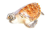 Illegal mounted hawksbill sea turtle - critically endangered sea — Stock Photo