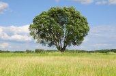 Één boom op een weide — Stockfoto