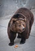 The brown bear — Stock Photo