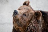 The brown bear — Stock Photo