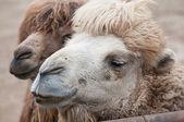 Bactrian camel — Stock Photo