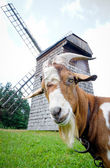 Goat and windmill — 图库照片
