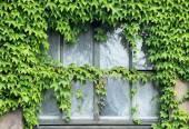Ivy on window — Stock Photo